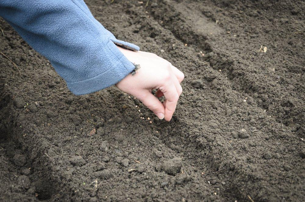 Sadenie cibule zo semena