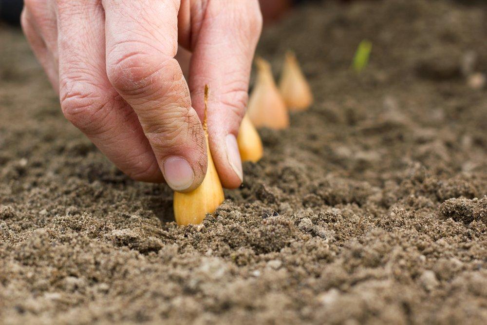 sadenie cibule