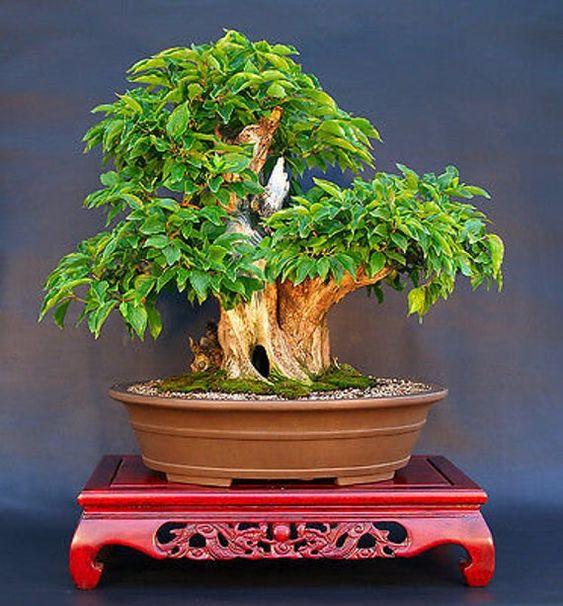 Drieň obyčajný - pestovanie bonsai