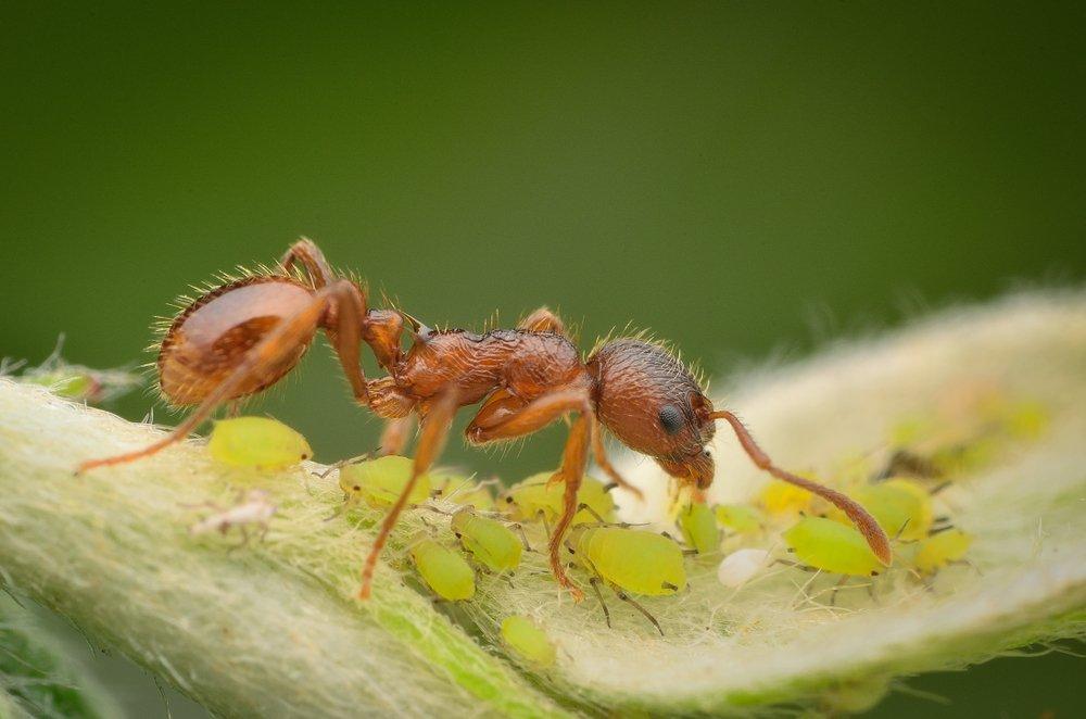 škodcovia - vošky a mravec
