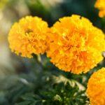 Ako pestovať aksamietnicu (aj na balkóne) - zo semienok, alebo sadeníc?