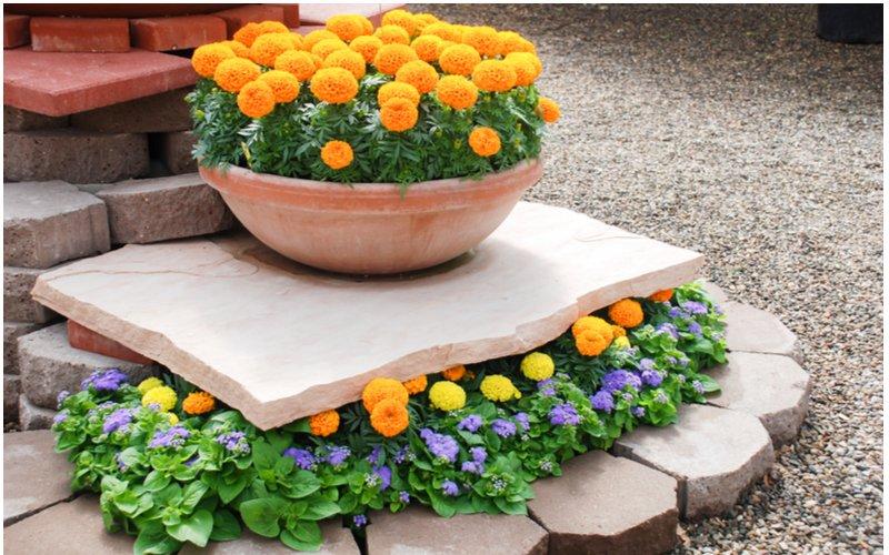 Aksamietnice v kvetináči