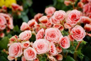 Ružová begónia hľuznatá