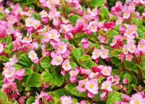 Begónia vosková s ružovými kvetmi