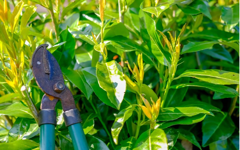Strihanie bobkového listu
