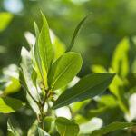 Ako pestovať bobkový list na záhrade - strihanie, choroby a zber