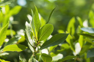 Bobkový list v záhrade