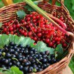 Pestujeme čierne a červené ríbezle - sadenie, strihanie, choroby