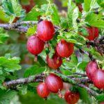 Všetko o pestovaní egrešov - sadenie, rozmnožovanie, strihanie