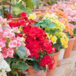 Ako sa starať o Begónie - pestovanie, sadenie, prezimovanie, rozmnožovanie