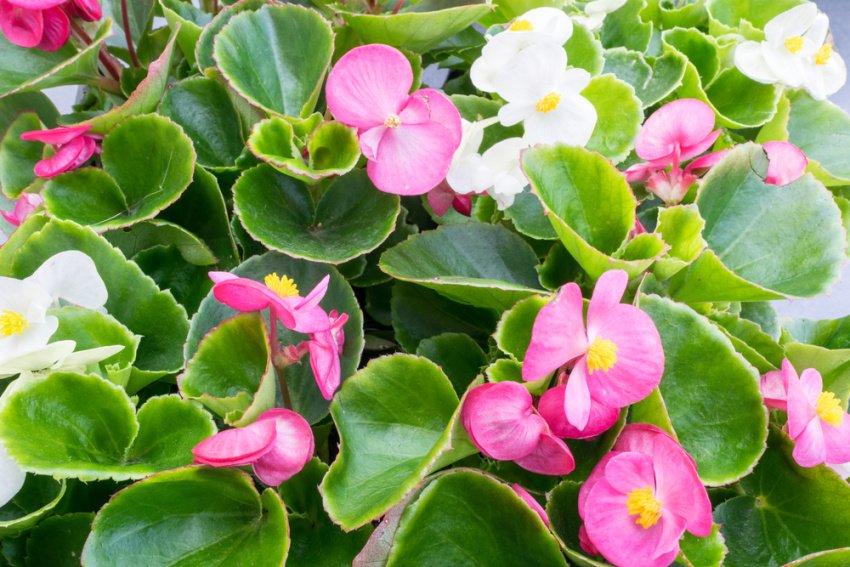 Ker begónie s ružovými kvetmi