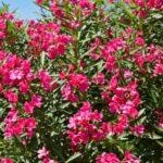Pestujeme oleander - strihanie, rozmnožovanie, zazimovanie