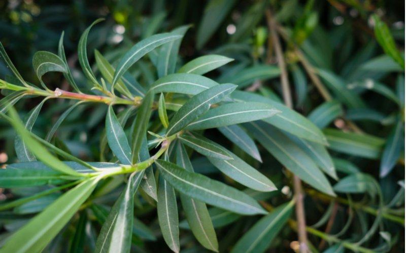 Oleander bez kvetov