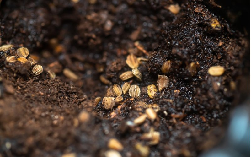 Semiačka rukoly v pôde