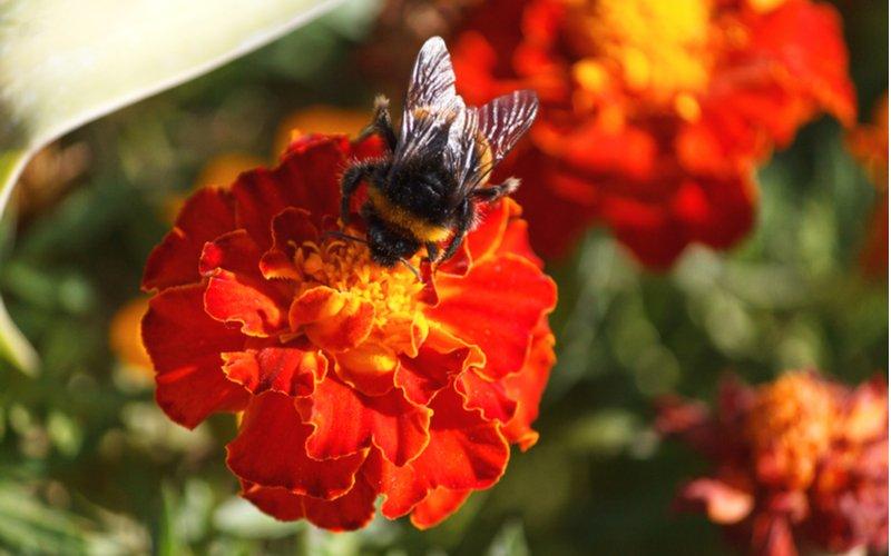 Včela na kvete nechtíka