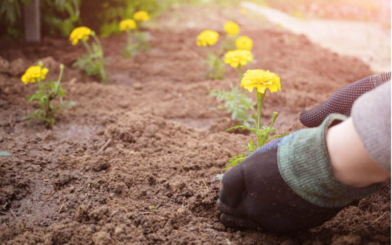 Výsadba sadeníc aksamietnice