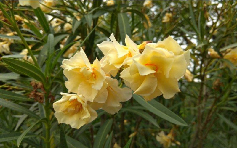 Žltý oleander