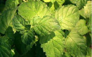Mentha piperita citrata