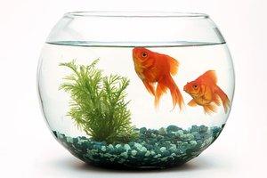 Malé okrúhla akvárium s dvomi rybičkami