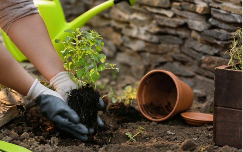 Výsadba mäty zo štartovacej rastliny