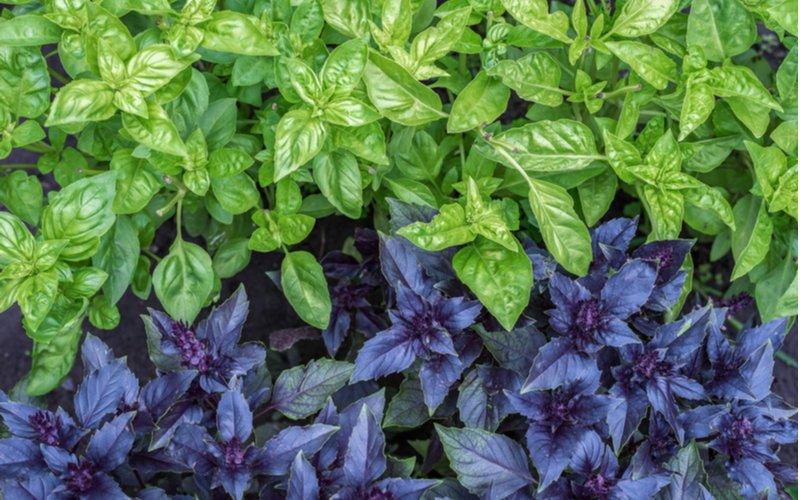 Zelená a purpurová bazalka
