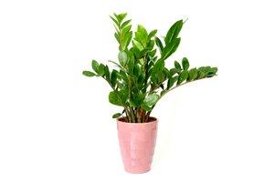 Zelená rastlina v ružovom kvetináči