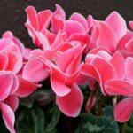 Ako pestovať kvet Cyklámen vonku aj v byte