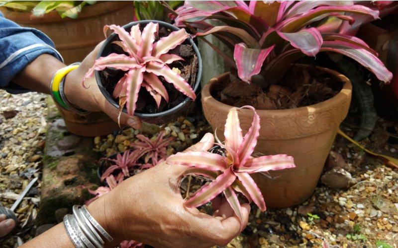 Matrská rastlina a dve odnože