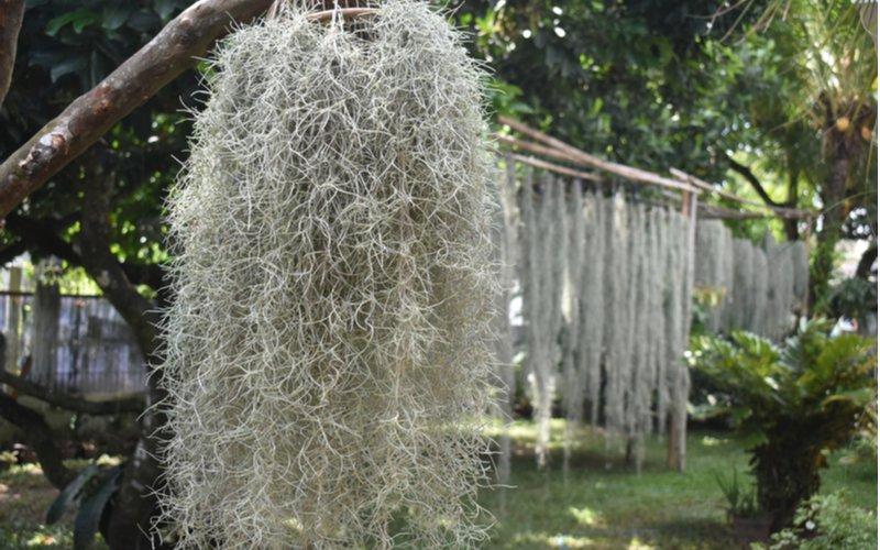 Španielsky mach (Tillandsia usneoides)