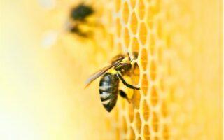 Včela na pláste