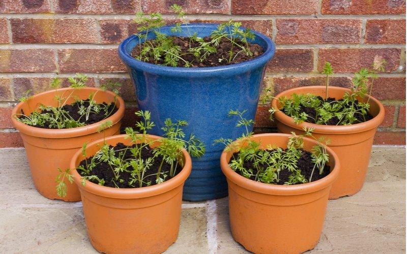 Päť kvetináčov so zasadenou mrkvou