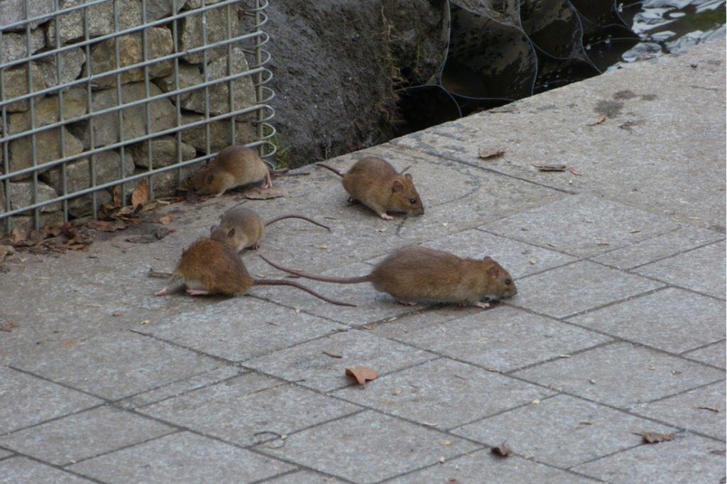 Ako sa zbaviť potkanov - potkan hnedý, viac jedincov na záhrade