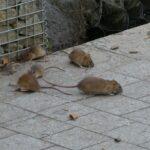 Ako sa zbaviť potkanov? - v záhrade, na dvore, v aute + v dome či byte