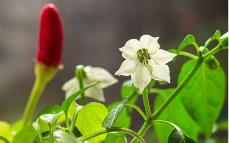 záber na biele kvety rastliny čili