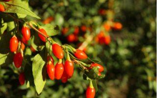 Pestovanie goji - konár goji