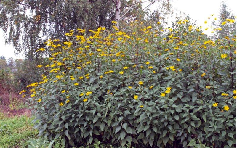 Topinambur pestovanie v záhrade