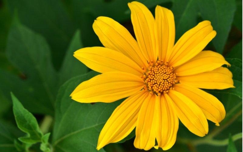 Kvet topinamburu
