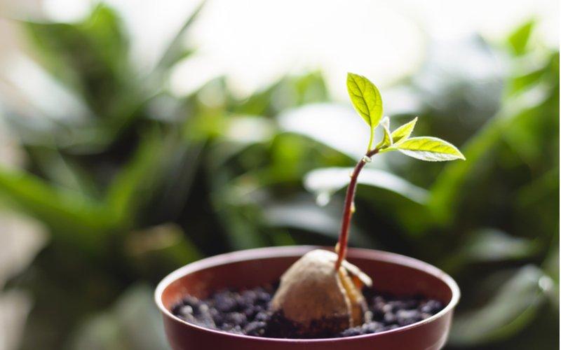 Mladá rastlina avokáda v kvetináči