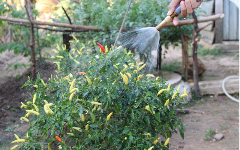 muž polievajúci kríček rastliny čili v záhrade