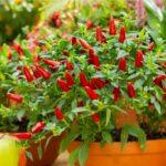 Čili papričky a ich pestovanie v skleníku, v byte či na balkóne (aj v zime)