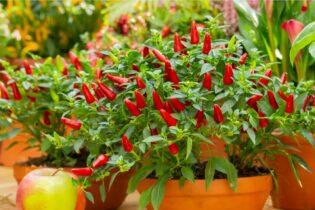 rastlinka čili s červenými papričkami v kvetináči