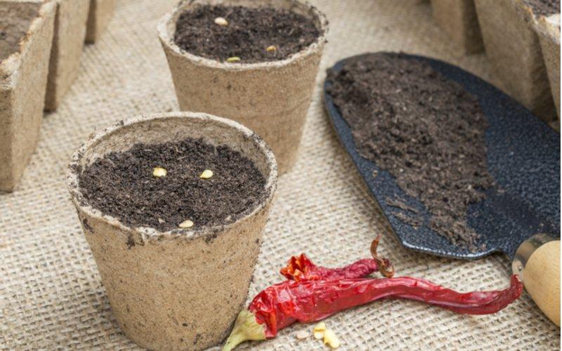 sadenie semena čili papričiek do rozložiteľného kvetináča
