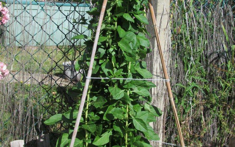 Pestovanie goji v záhrade