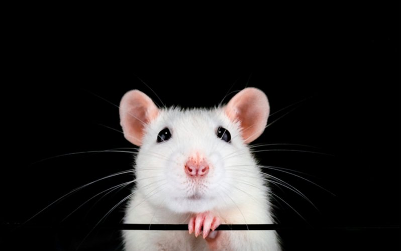 Biely laboratórny potkan, domáci miláčik