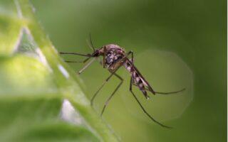 Komár na tráve