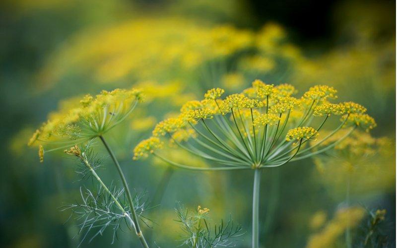 Kôpor - kvet