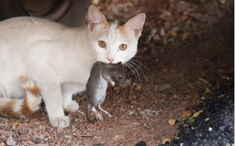 Mačka s potkanom v papuli