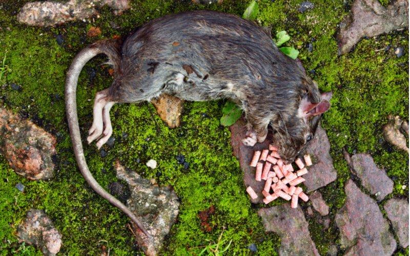 Otrava na potkany - otrávená návnada (granule) a mŕtvy potkan