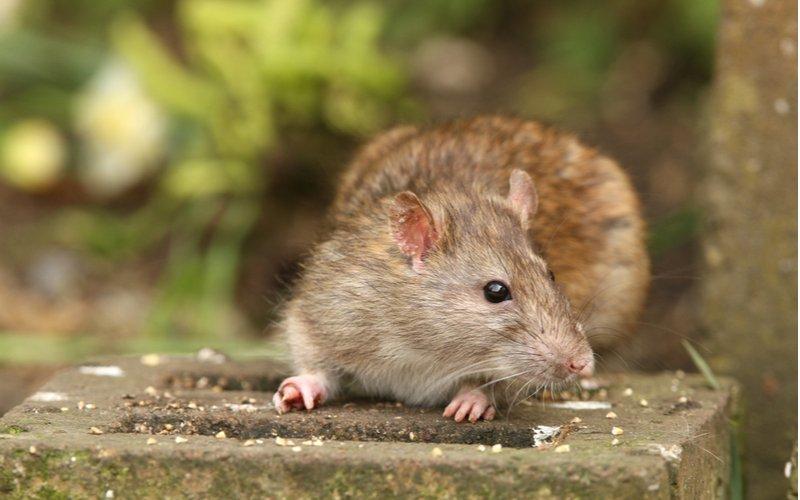 Potkan hnedý, Rattus norvegicus