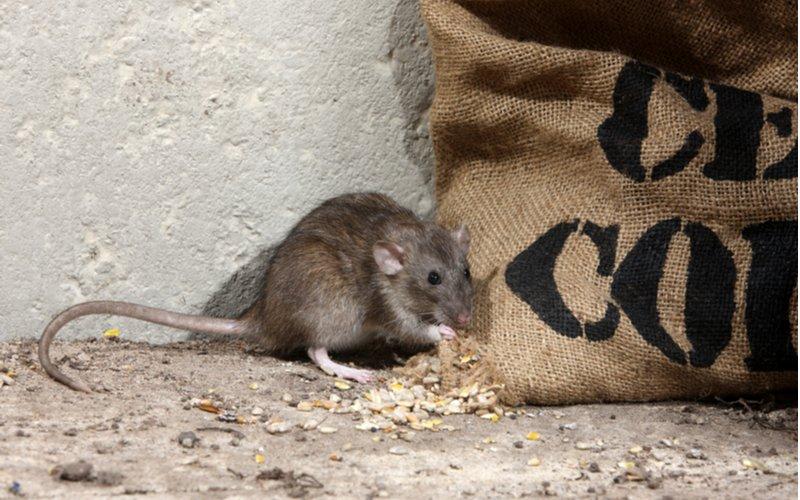 Potkan načína vrece s krmivom